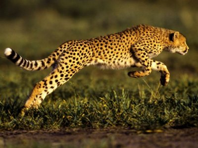 Asiatic Cheetah Runnig in the Wild.jpg