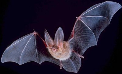 Bat with Wings Spread Wide.jpg