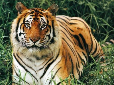 Bengal Tiger in the Jungle.jpg