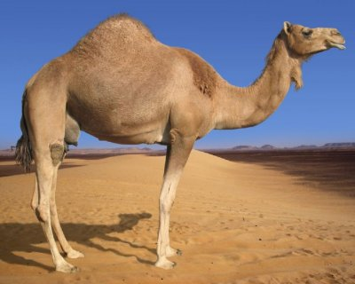 Camel in the Desert.jpg