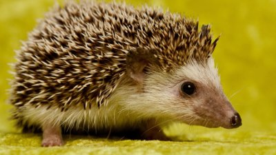 Cute Hedgehog.jpg
