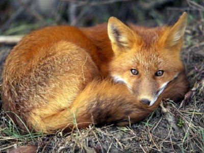 Fox Resting in the Wild.jpg