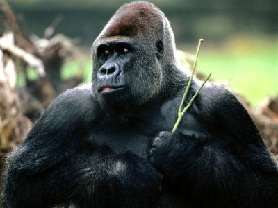 Gorilla with Bamboo Branch.jpg