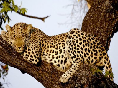 Leopard in a Tree.jpg