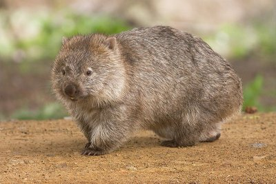 Wombat Walking on the Ground.jpg