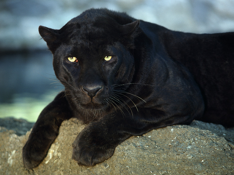 Panther Fact... Images Of Panthers