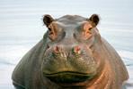 hippopotamus.jpg
